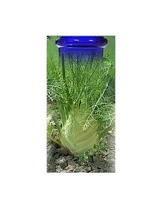 Fenouil plante Bio
