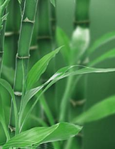 Bambou feuille