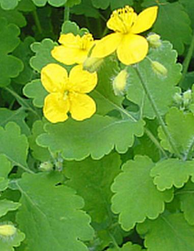 Chélidoine herbe
