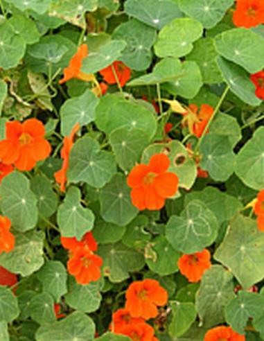 Capucine herbe Cresson d'Inde