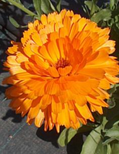 Souci fleur Calendula