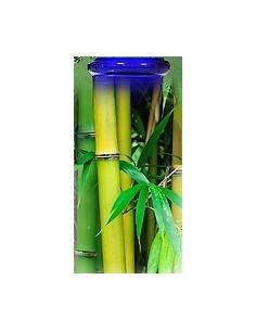 Bambou d'Anduze BIO
